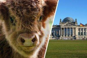 Collage Kalb und Bundestag