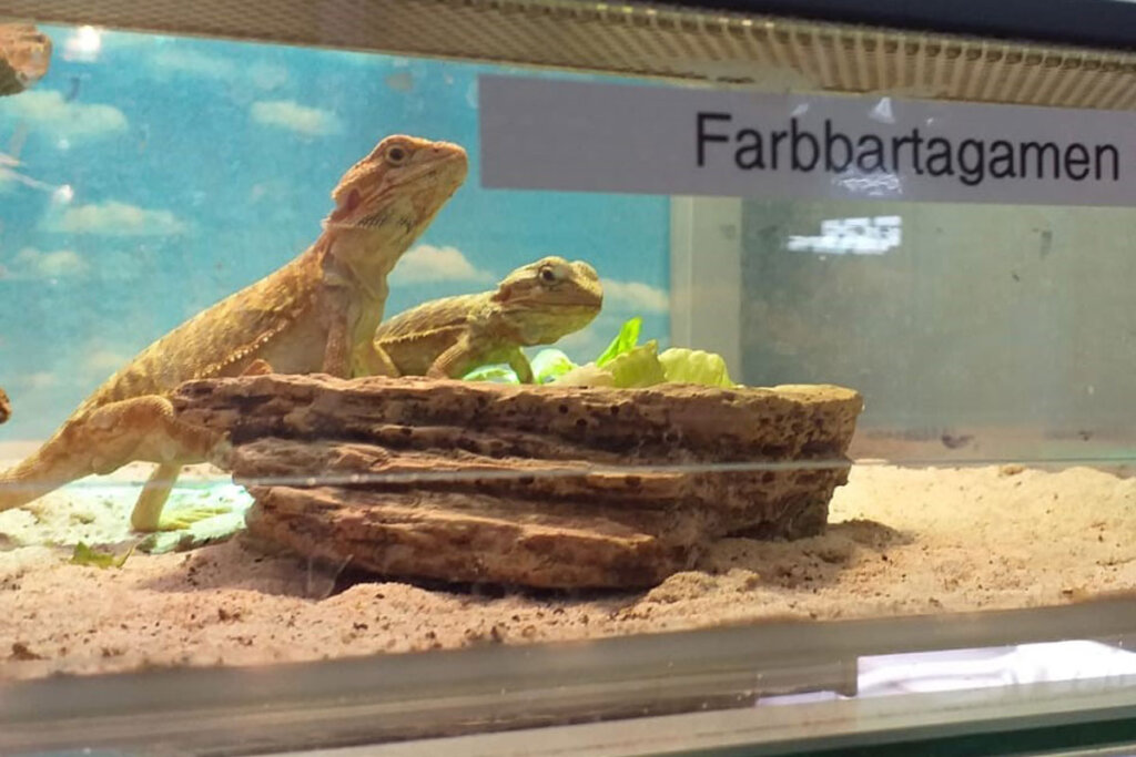 Zoo Zajac Farbbartagamen