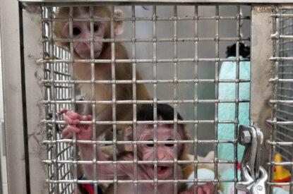 Primaten im Kaefig im Tierversuchslabor