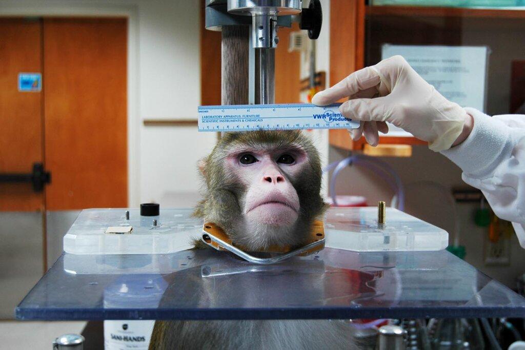 Affe wird vermessen im Tierversuchslabor