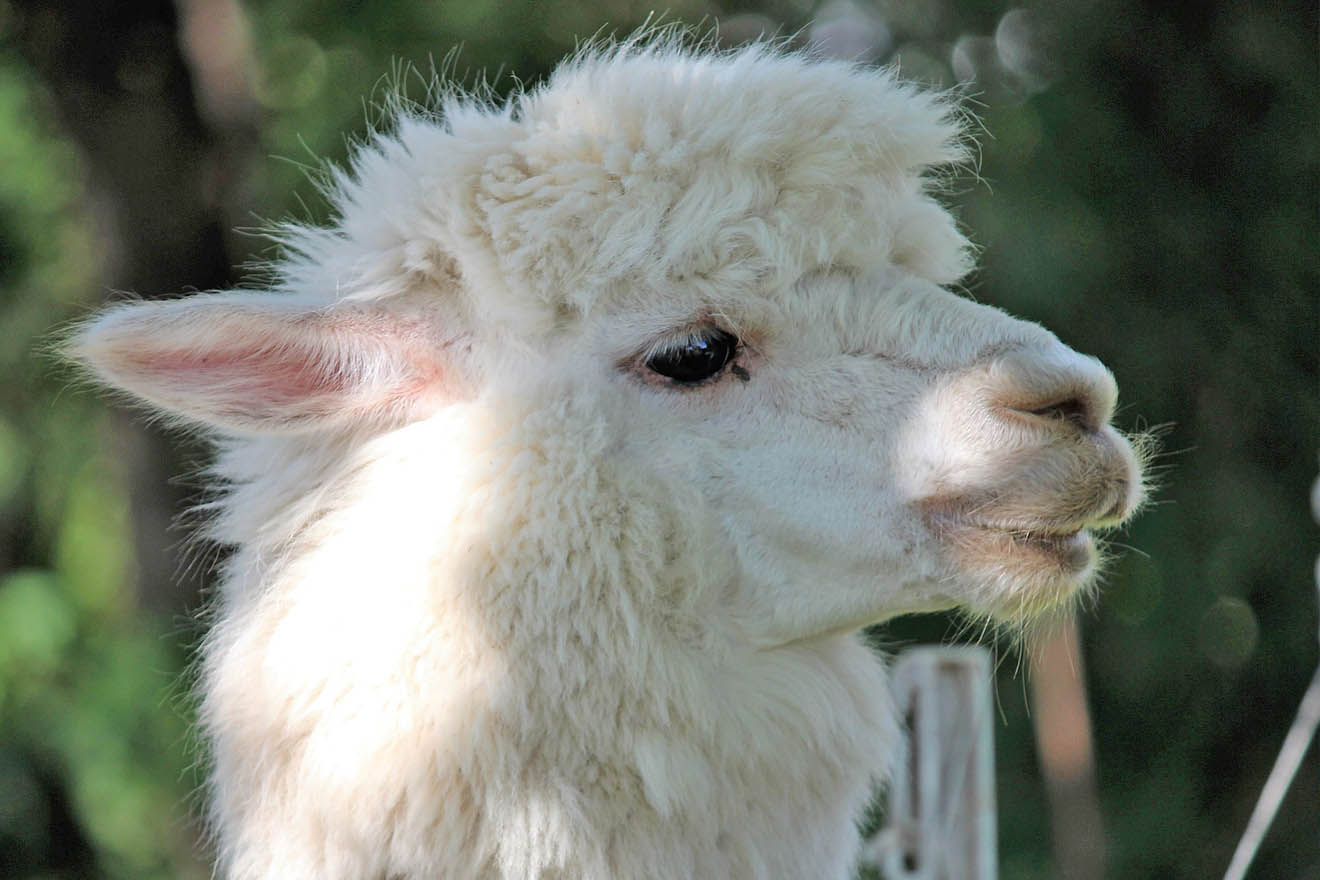 Erfolg: Tom Tailor verbannt Alpaka-Wolle aus Sortiment