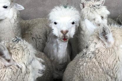 Alpaka mit blutigem Mund