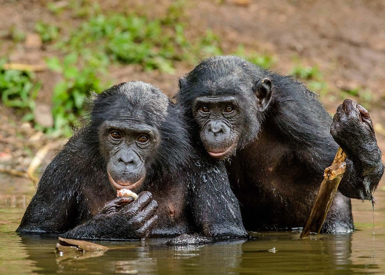 Der Bonobo – 6 faszinierende Fakten über die Menschenaffen