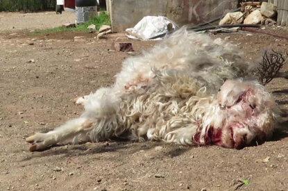 Mohairziege liegt blutend am Boden
