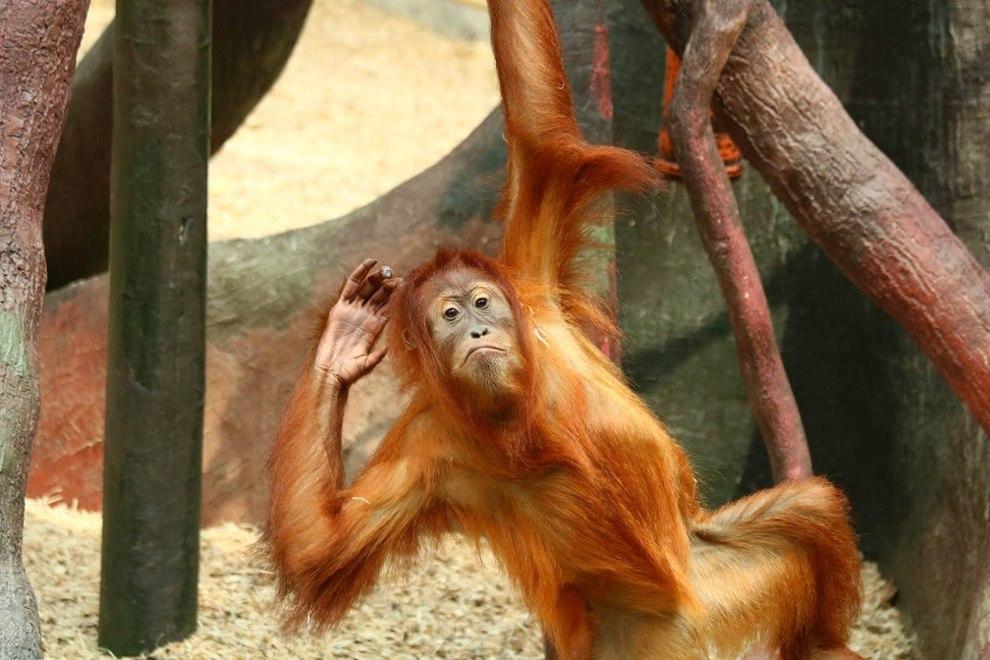 Orang Utan Zoo Münster