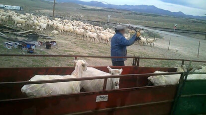 Schafe werden ausgepeitscht