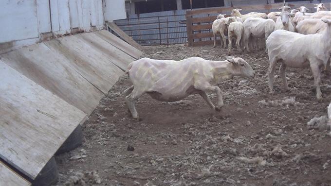 Verletzte Schafe nach der Schur