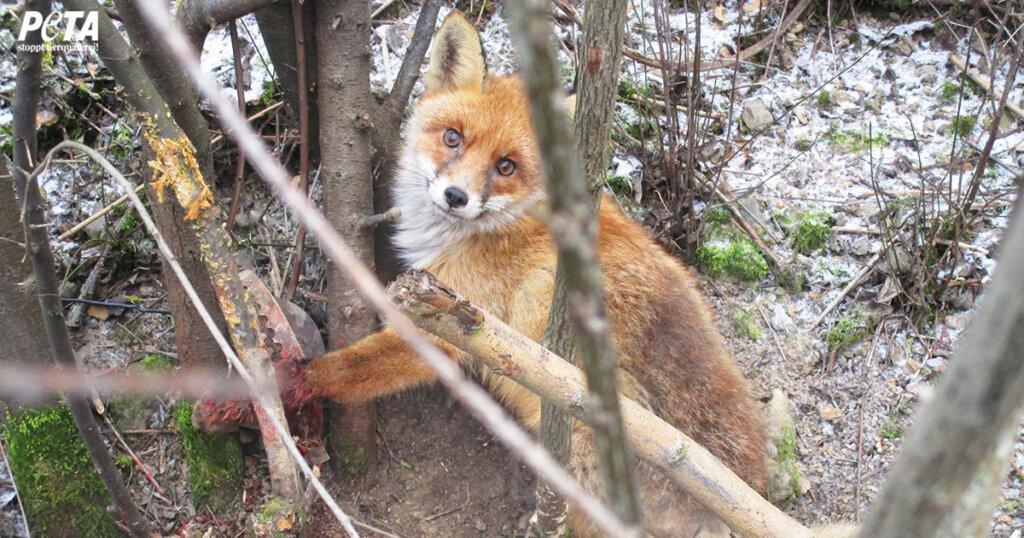 Fuchs steckt mit der blutigen Pfote in einer Falle