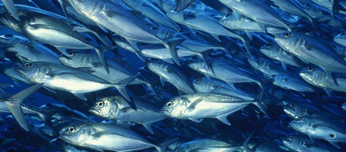 10 Gründe keinen Thunfisch zu essen