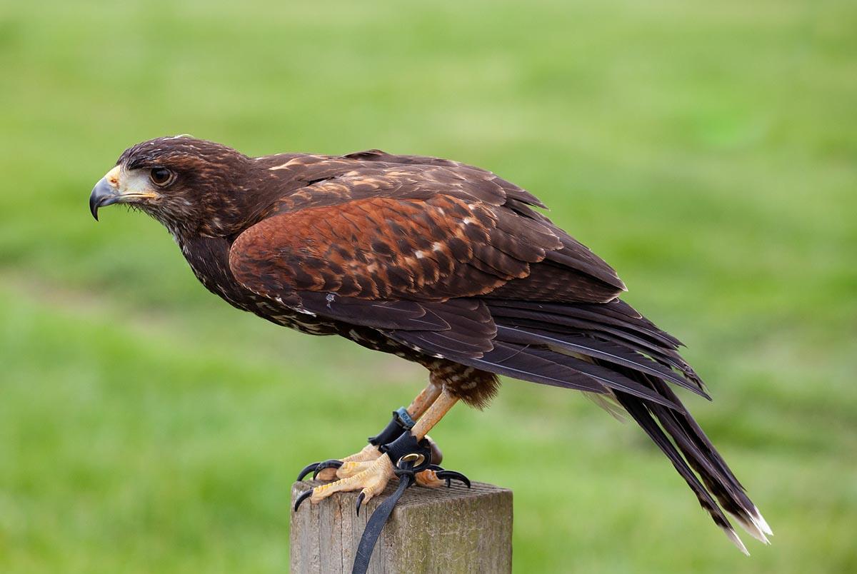 Falknerei: Greifvögel für die Beizjagd eingesperrt und gequält