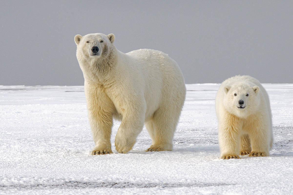 Der Eisbär – 8 faszinierende Fakten über Eisbären