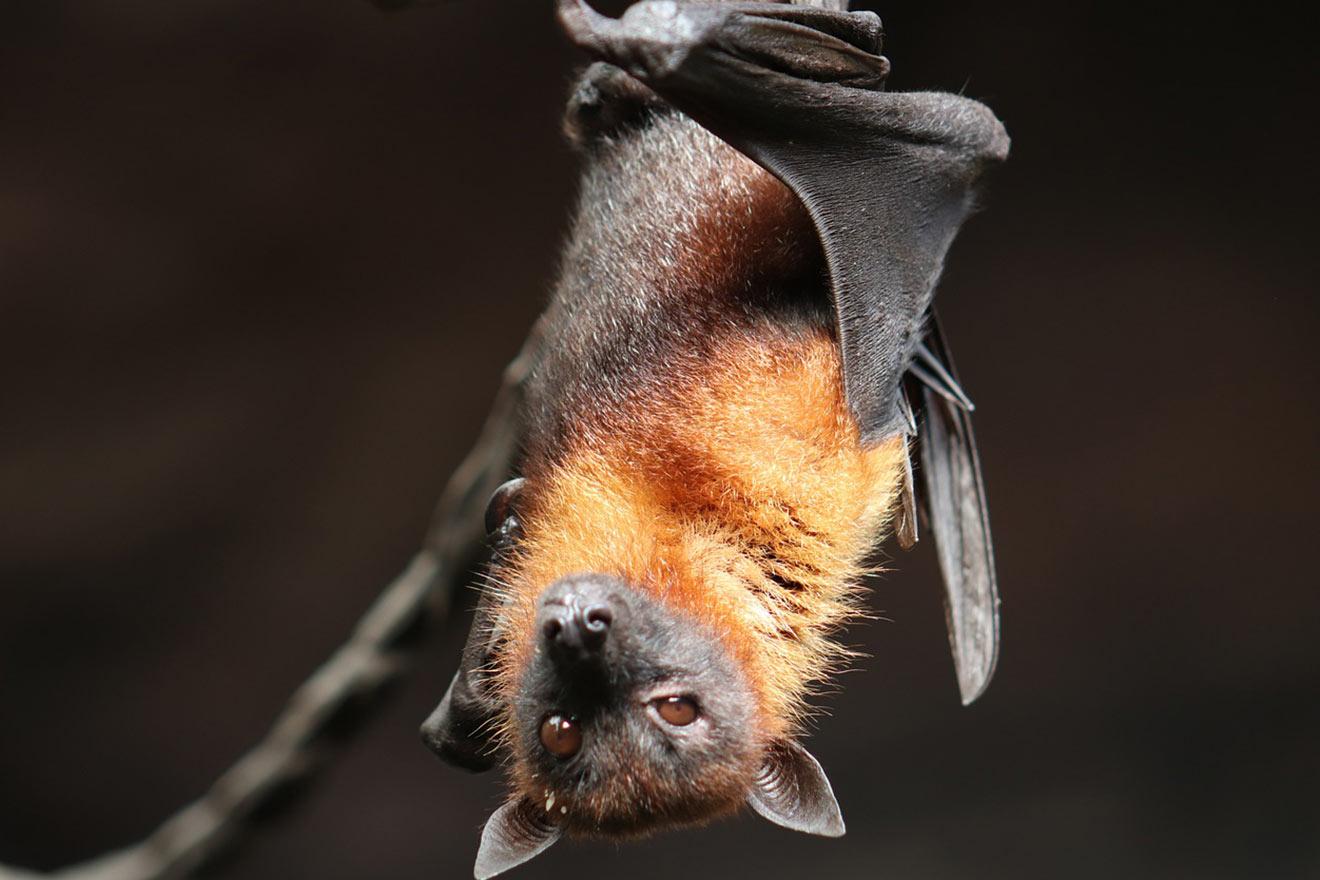 Die Fledermaus: 10 faszinierende Fakten über Fledermäuse