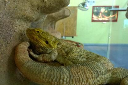 Gecko im Terrarium