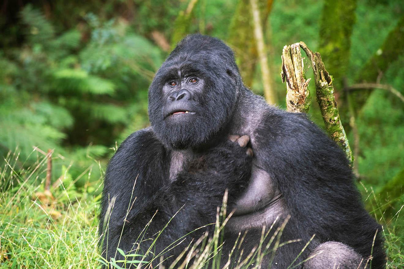Der Gorilla – 7 faszinierende Fakten über die Menschenaffen