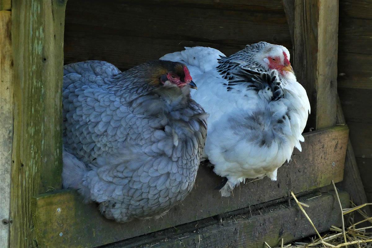 """Hühner mieten: Warum Angebote wie """"Rent a Huhn"""" Tierquälerei sind"""