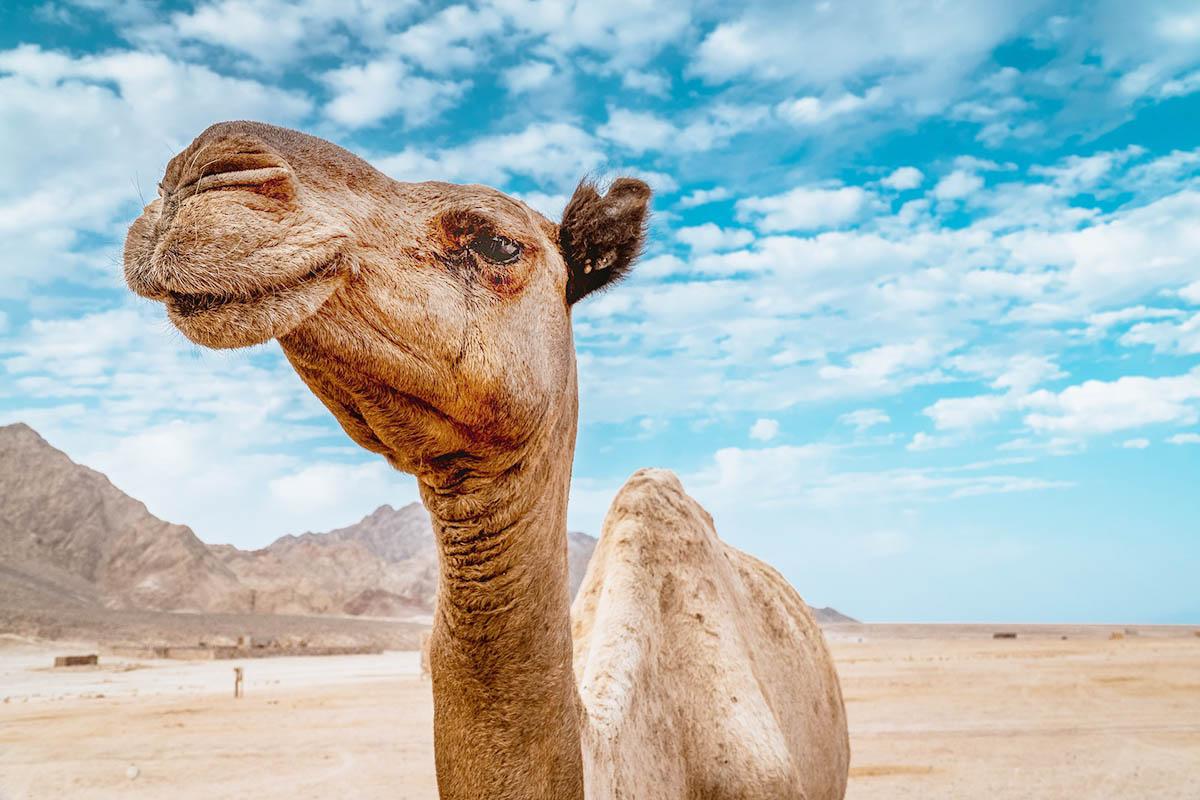 Ägypten plant Verbot von Kamelreiten in Gizeh nach PETA Kampagne