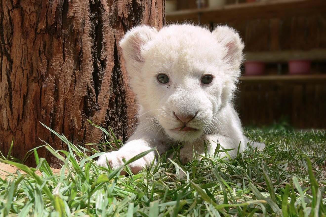 Bitte nicht: Circus Krone will beschlagnahmtes Löwenbaby aufnehmen