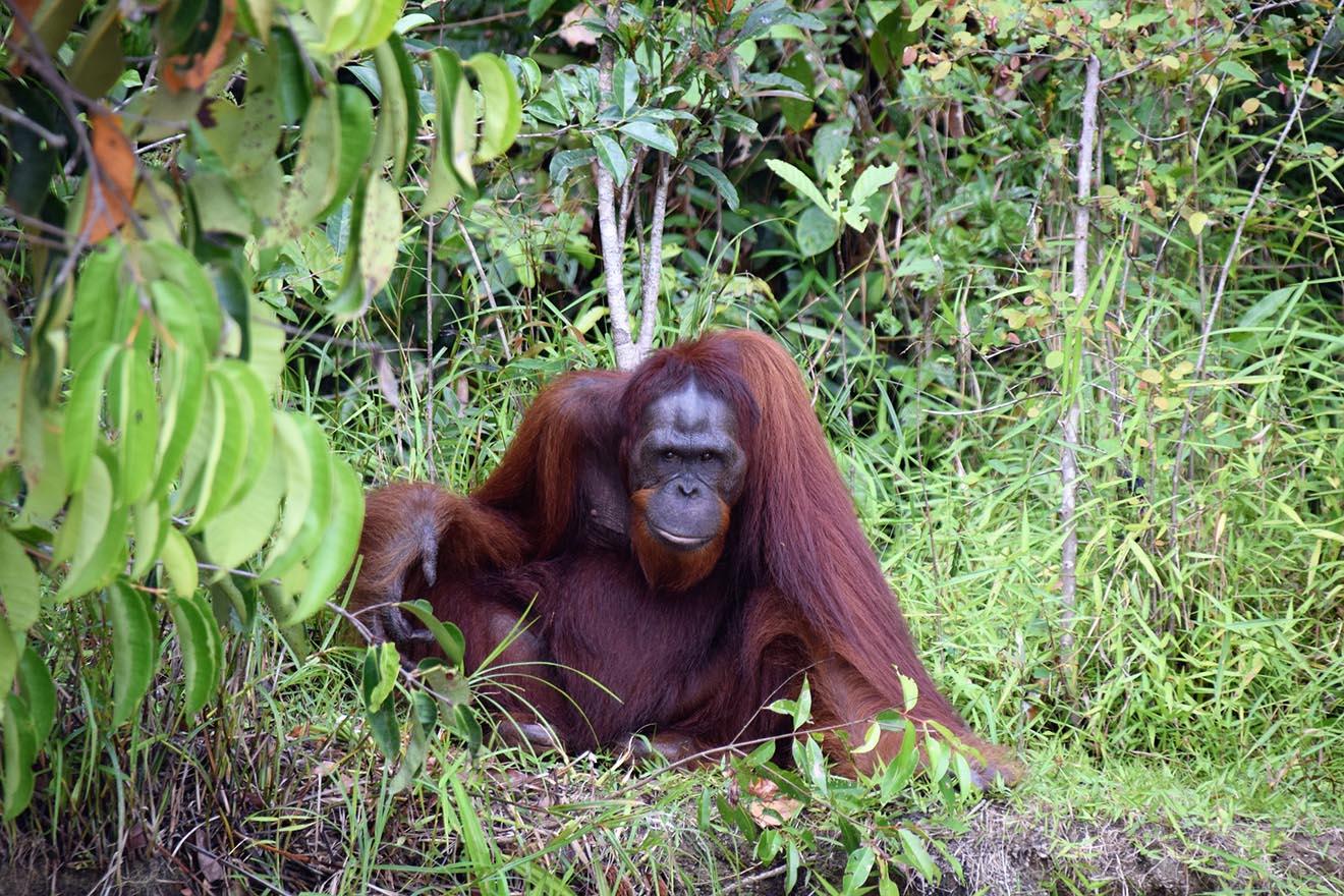 Der Orang-Utan – 7 faszinierende Fakten über diese Menschenaffen