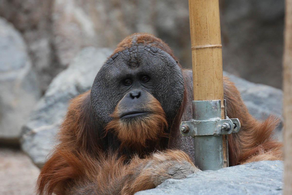 Menschenaffen im Tierpark Hagenbeck dauerhaft eingesperrt
