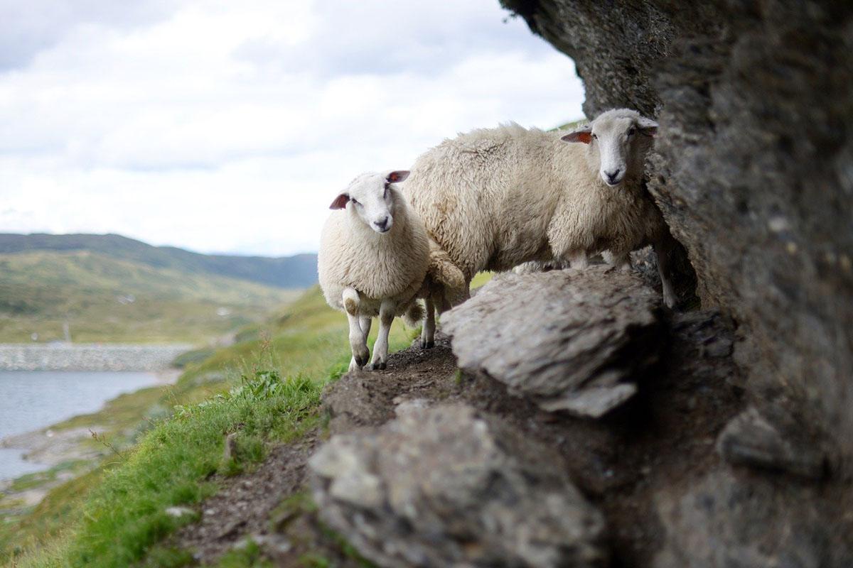 Das Schaf – 9 faszinierende Fakten über Schafe