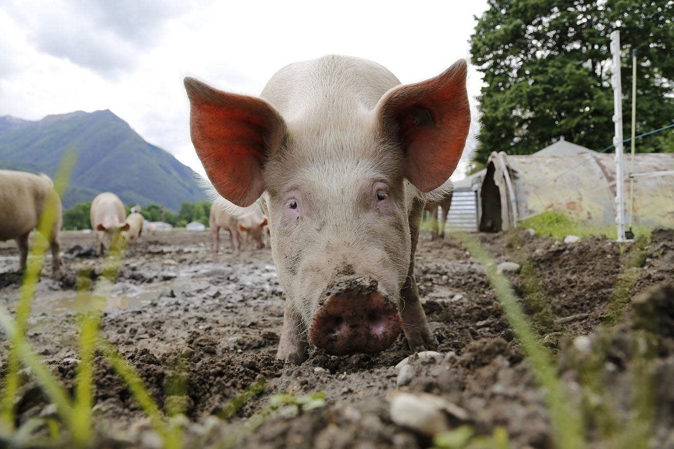 Medizinstudenten der Uni Ulm zerschneiden lebende Schweine