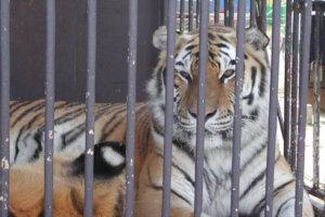 Tiger im Zirkuskaefig