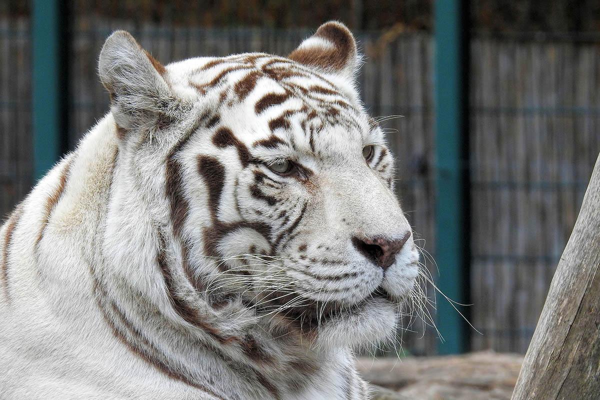 Zirkusunfall: Betrunkener will Tiger streicheln und wird schwer verletzt