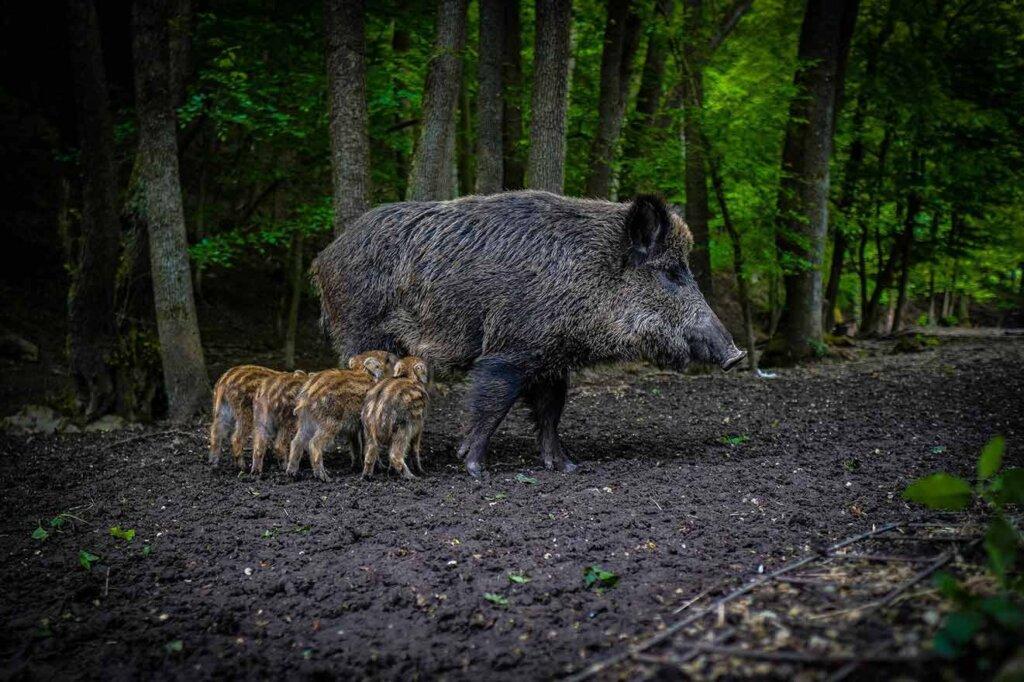 Wildschwein mit Jungen