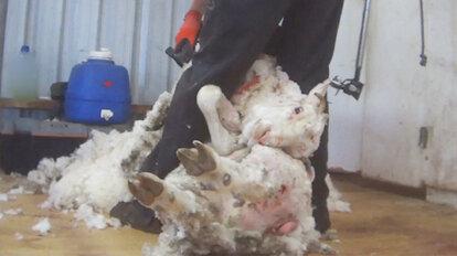 Person schert ein Schaf