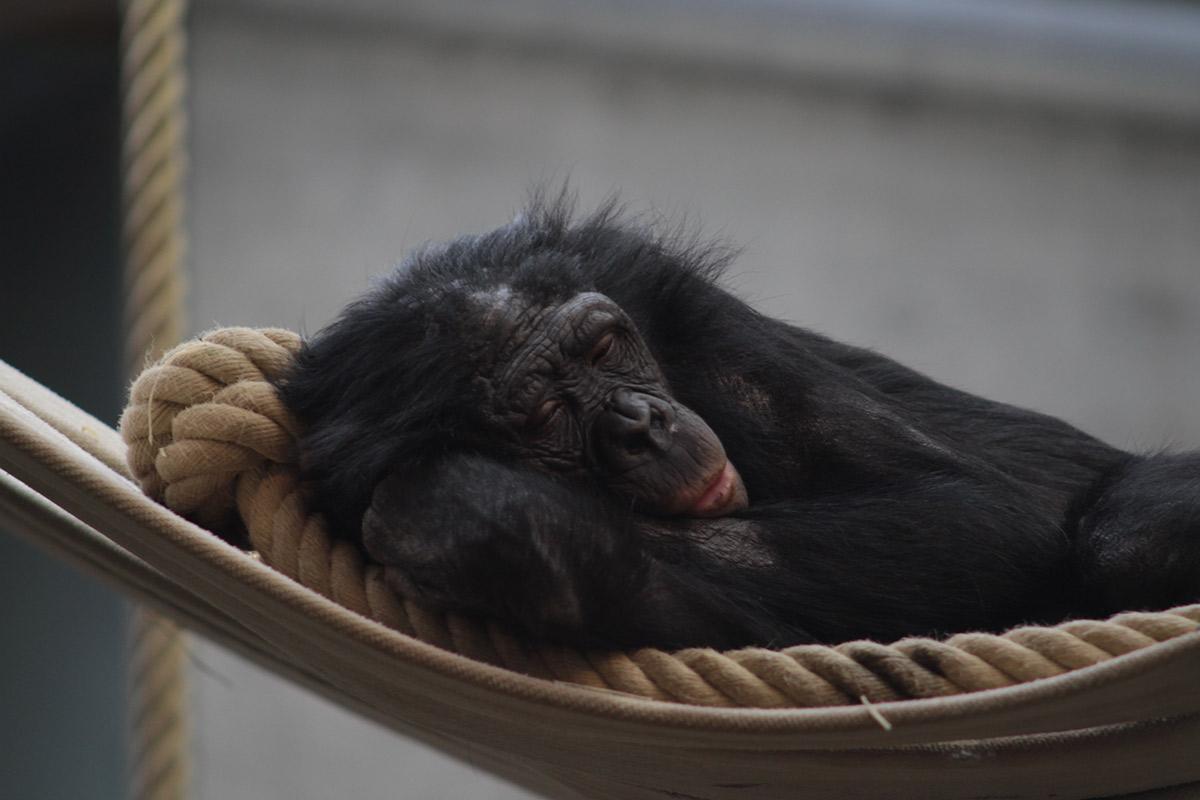 Zoo Wuppertal: Bonobo Birogu von Artgenossen tödlich verletzt