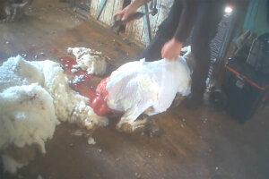 Verletztes Schaf bei der Schur