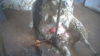 Schaf blutet bei der Schur