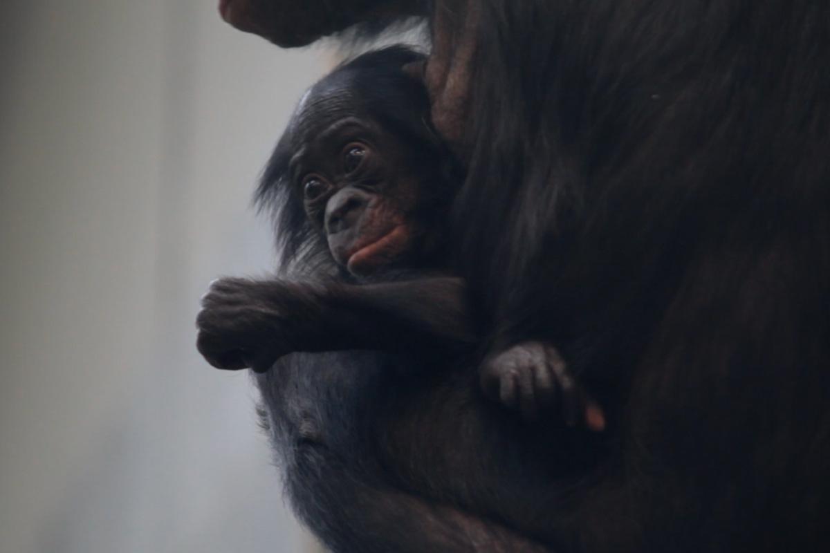 Warum erkranken und sterben so viele junge Menschenaffen in deutschen Zoos?