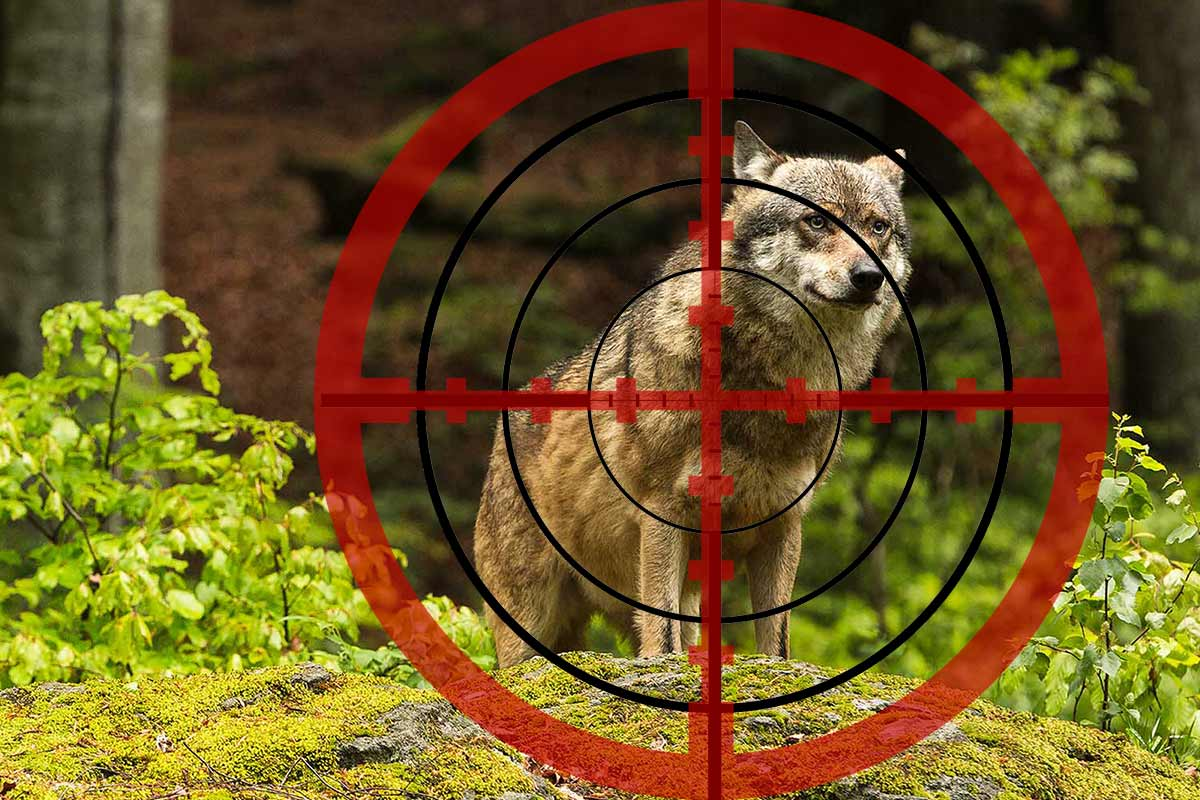 Update: Niedersachsen erlaubt Wolfsabschuss: Jäger tötet falschen Wolf