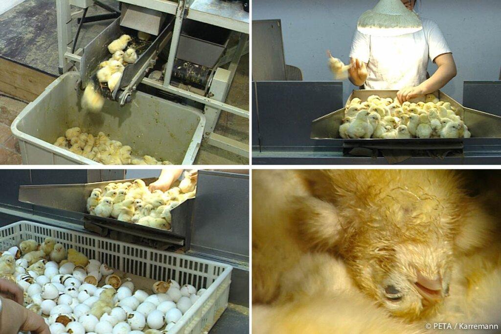 neugeborene Küken werden aussortiert