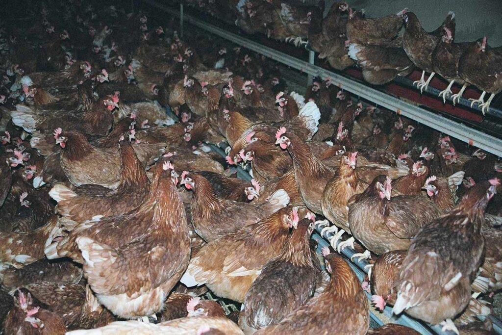 Hühner auf einer Elterntierfarm