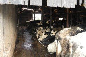 Angebundene Kuehe in einem Stall