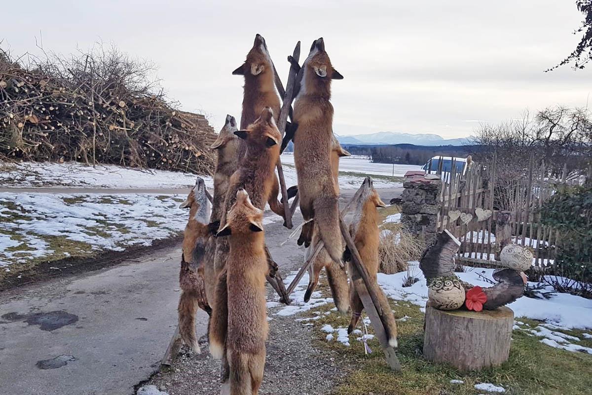 Tote Füchse auf bayrischem Milchbetrieb aufgehängt
