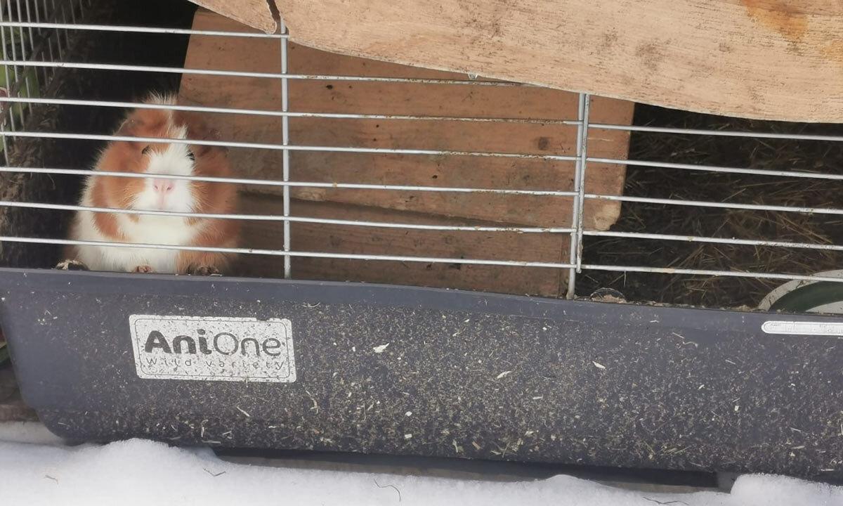 Meerschweinchen im Stall ausgesetzt im Schnee