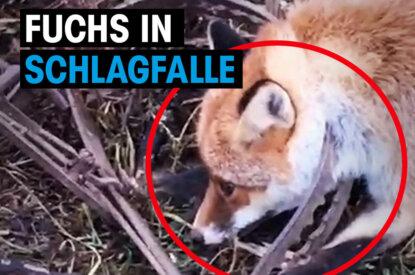 Fuchs in Schlagfalle gefangen