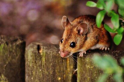 Maus sitzt auf einem Holzzaun