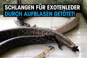Thumbnail Schlangen für Exotenleder durch Aufblasen getötet
