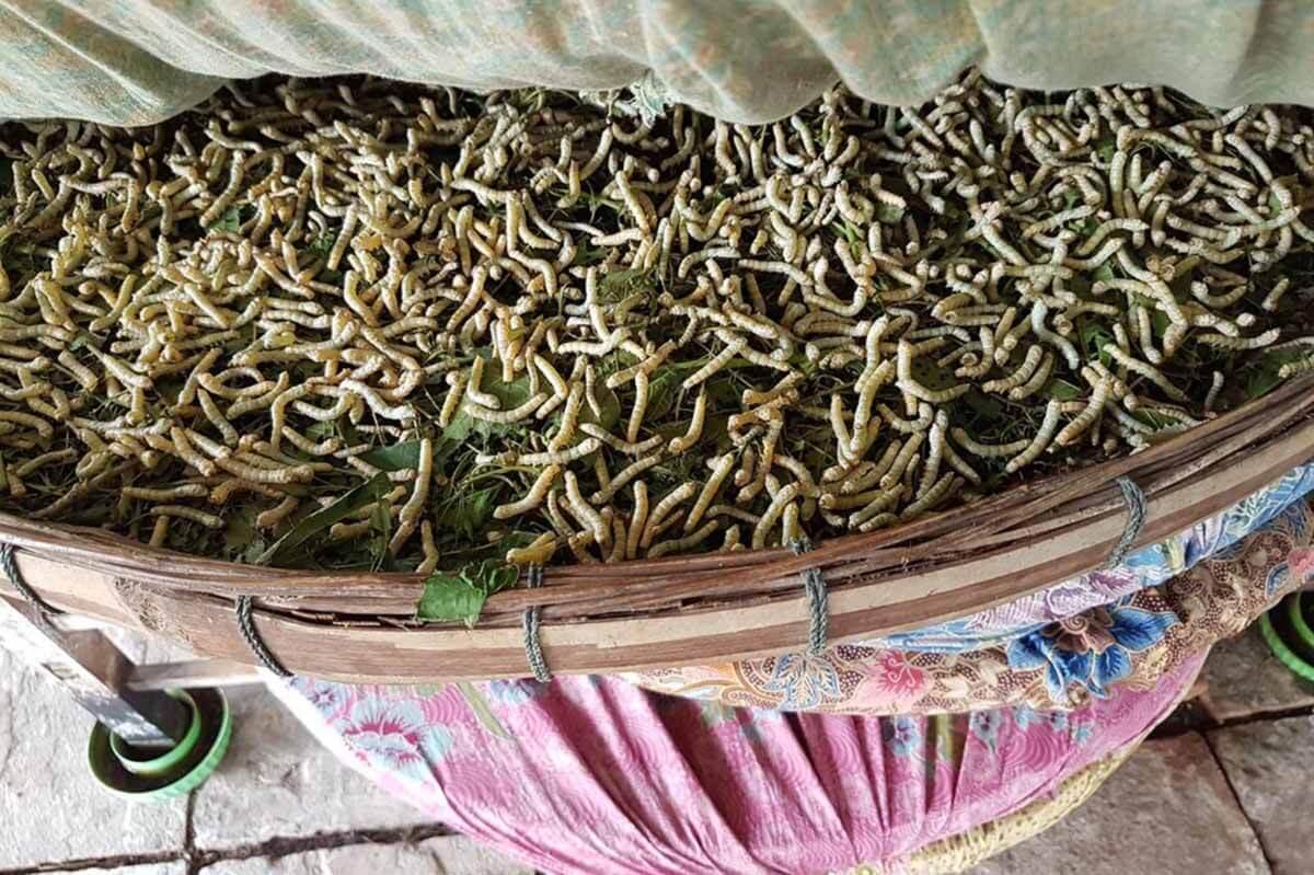 Tierquälerei für Seide: Raupen im Kokon lebendig gekocht