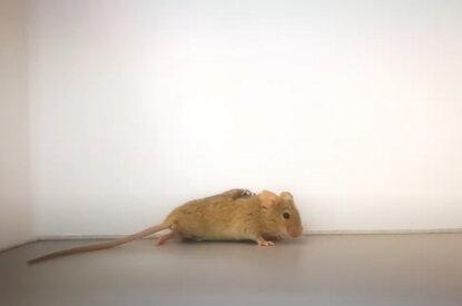 Ratte aus Tierversuchen