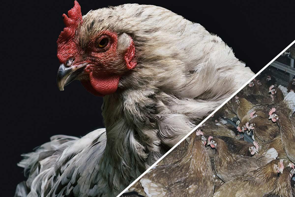 Eier – das Leid der Hühner und Hennen in der Eierindustrie