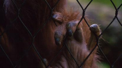 Menschenaffenhand an einem Zaun