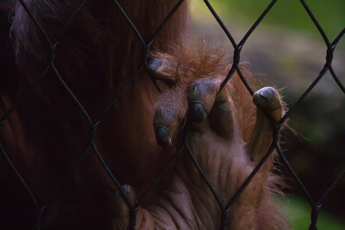 Warum Zoos für Menschenaffen keinen Artenschutz leisten