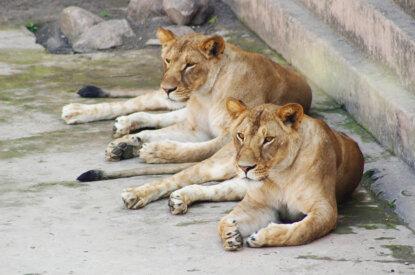 Löwen im Zoogehege