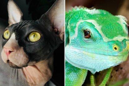 Collage Sphinx Katze und Gecko