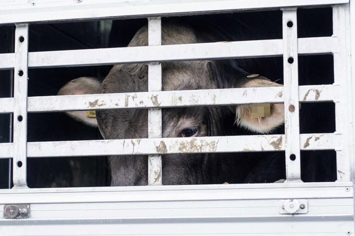 Warum PETA bei Unfällen mit Tiertransportern Anzeige erstattet